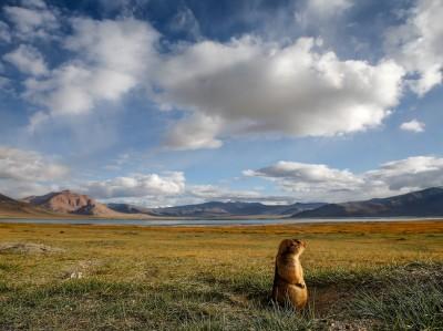 marmot-animal-ladakh-india_80566_990x742