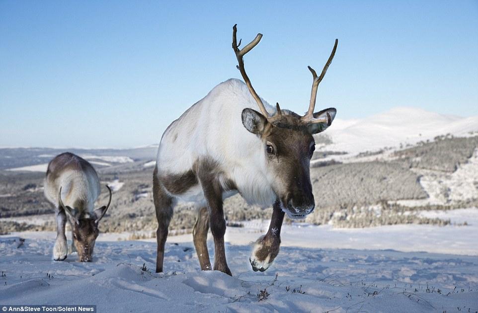 Reindeer-Scotland