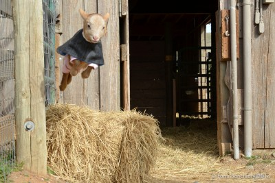 jumpinggoat