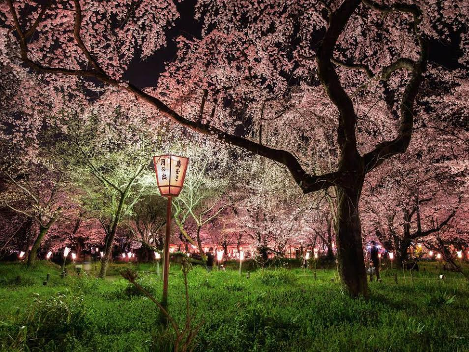 Cherry-blossoms-Japan
