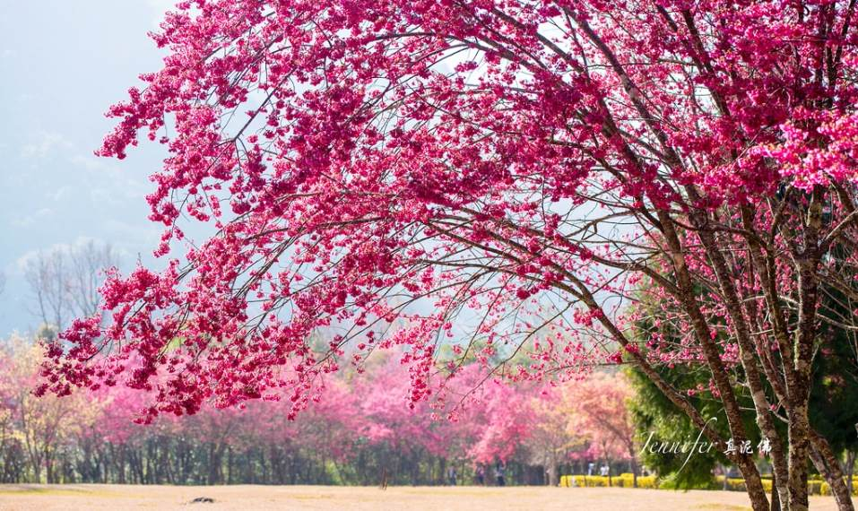 Cherry-blossoms-Taiwan