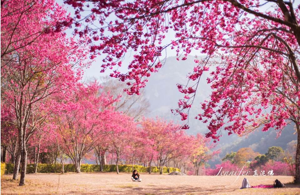 Cherry-blossoms-Taiwan2