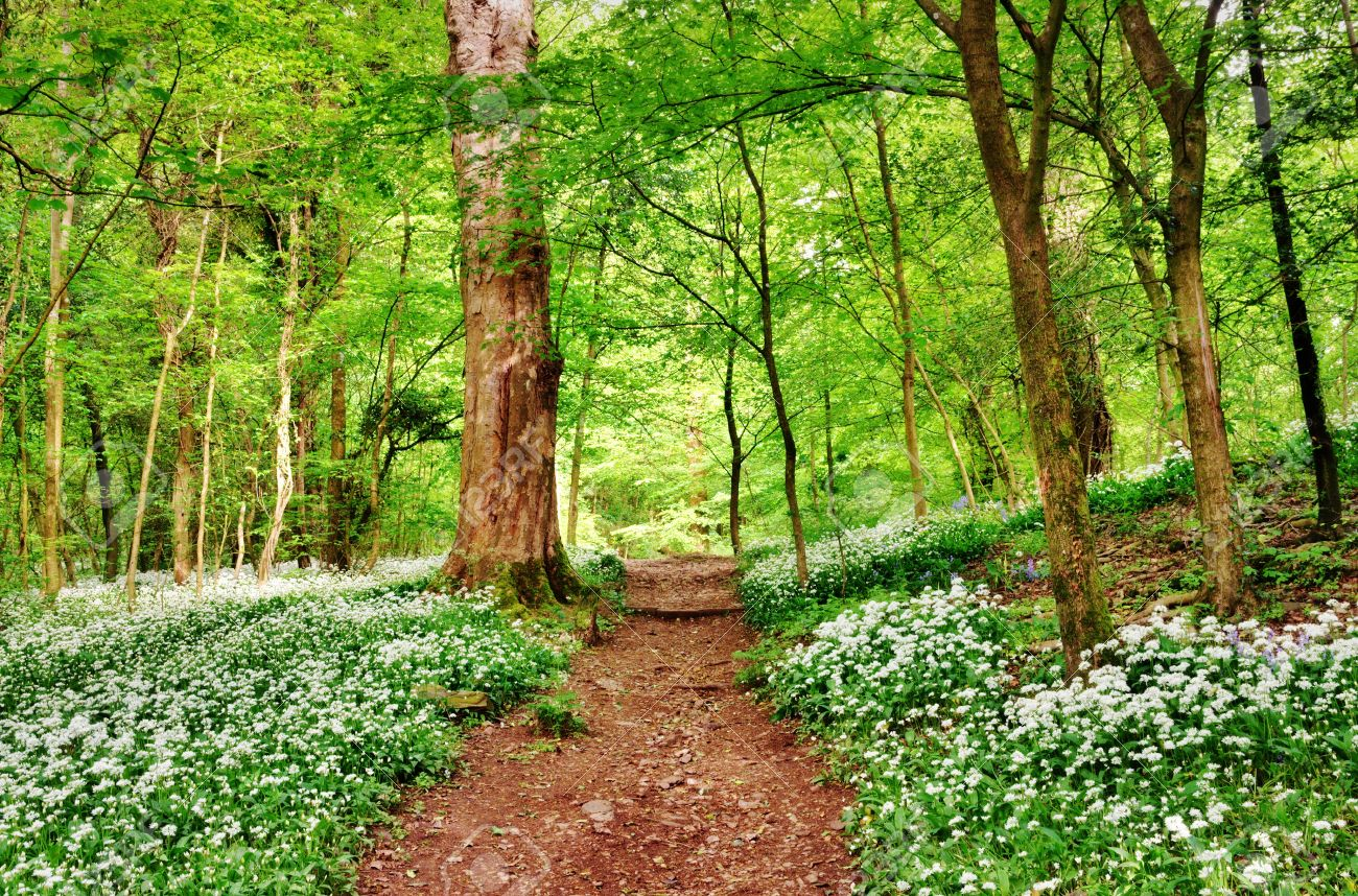 20298995-Shady-path-running-through-an-English-woodland-with-a-fresh-leafy-canopy-of-trees-and-floor-carpeted-Stock-Photo