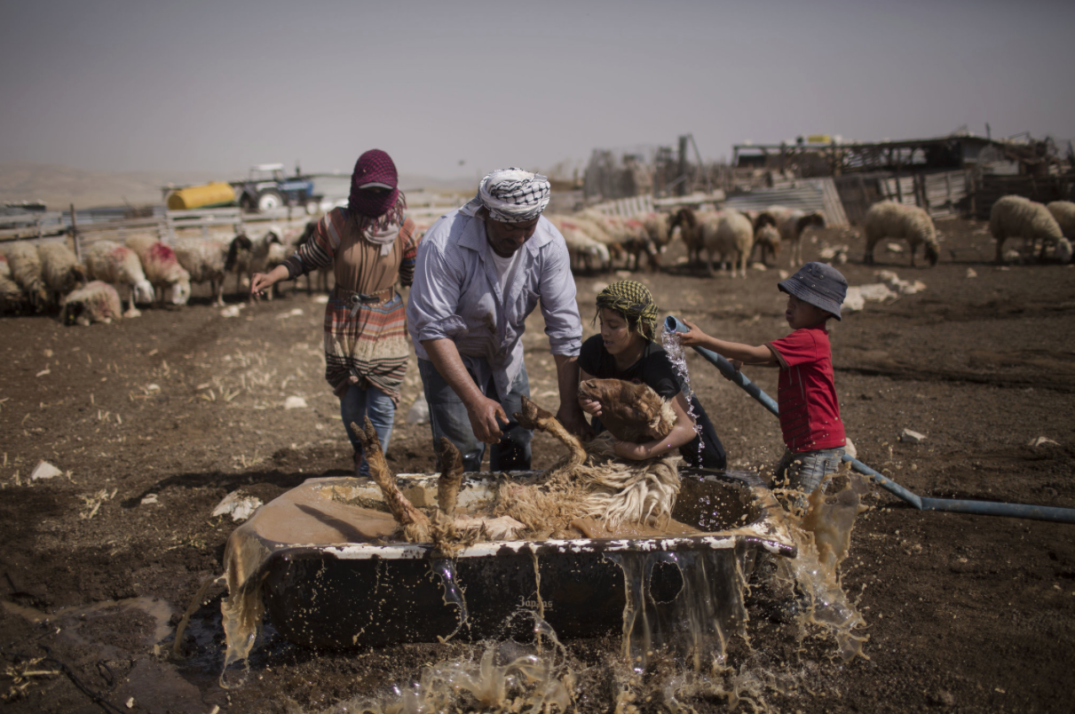 Bedouin-wash-sheep